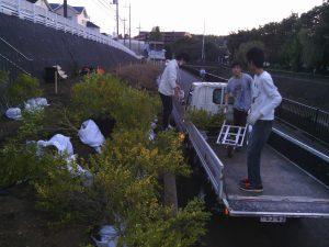 10月26日、都市大学生が大量のヒメツゲを運び込み