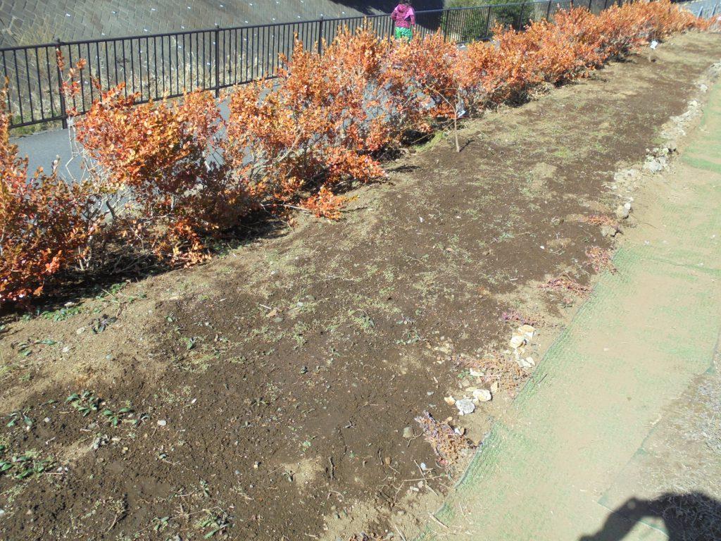 都市大都市緑化研究会の発芽が待たれるネモフィラ緑化ガーデン