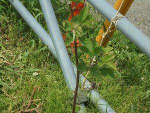 ブラックベリーに葉が出てきました
