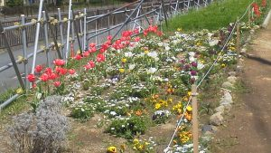 鍛冶橋口の一年草ゾーンは花でいっぱい