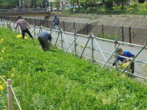 都市大生はキリンソウ花壇に生えた雑草取り