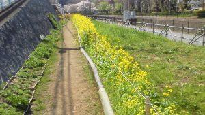 鍛冶山不動尊口側は菜の花がきれいに咲いている