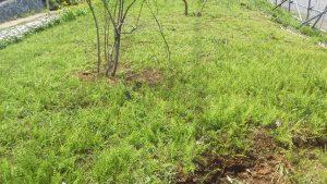 雑草のスギナがいっぱい