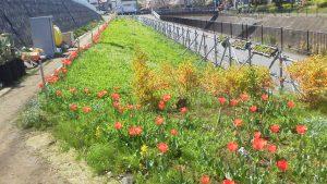 チューリップとネモフィラが咲いている
