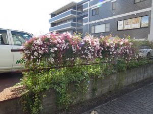 駐車場フェンスに咲くジャスミン