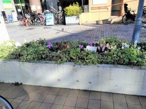 スイートピーを植えた駅前の花壇