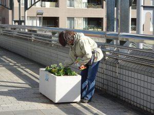 11月26日駅前歩道橋上プランターの植え替えには根切り虫退治も