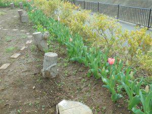 チューリップも咲き出しました