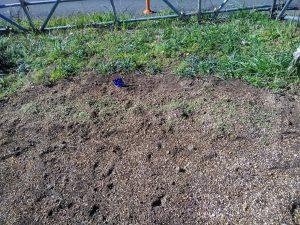 ネモフィラも小さな芽を出しました