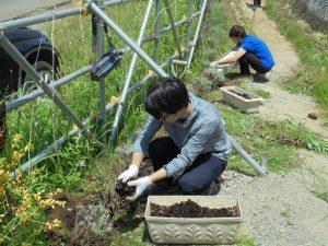 ラベンダーを植えました