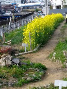 不動尊側には菜の花が咲いています