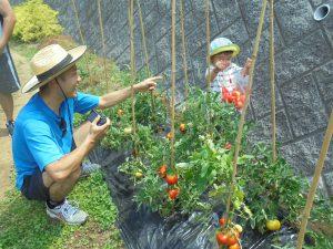 子供もお父さんとトマト取り