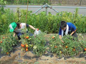 都市緑化研の学生も収穫