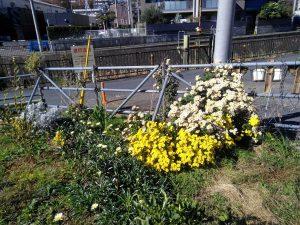 鍛冶橋口ではきれいな菊が咲いています