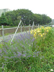 黄色のヘメロカリスも咲いています