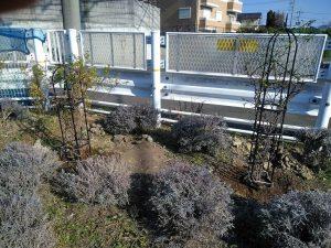 鍛冶橋口に寄付されたルリマツリ2本を植えました
