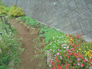 きれいに咲くポーチェリカとセダム
