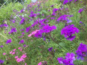 きれいに咲く宿根バーベナ