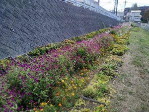 まだ秋の花が咲いているのですが、春の種まきもしなければ