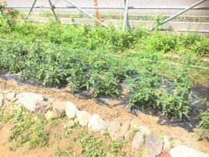 元気に育つトマト