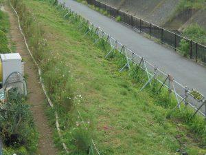 雑草が抜かれた鍛冶橋側クローバー畑