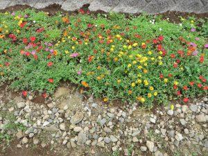 学生が種から育てたポーチェラカ咲いています