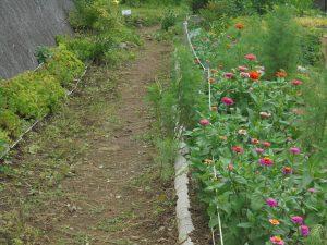 きれいになったジニアの咲く不動尊側園路