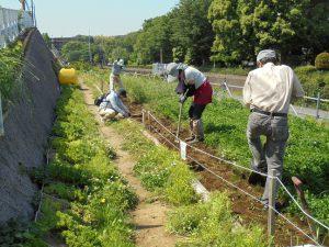 旧菜の花畑に百日草を植えるべく耕しました