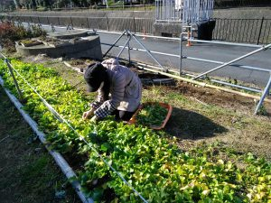 菜の花の間引き