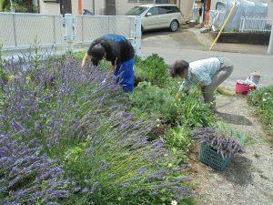 鍛冶橋側のラベンダー花の刈り取り