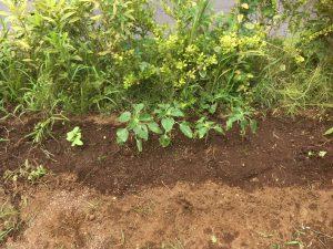 ヒマワリの苗を植えました