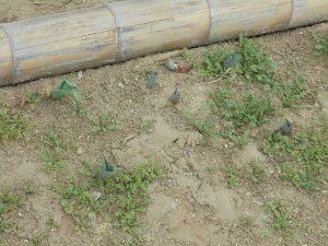 種を播いたネモフィラも成長しています