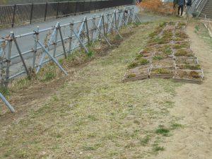 キリンソウユニットの移動、パイプ際の防草シートの撤去が終わりました