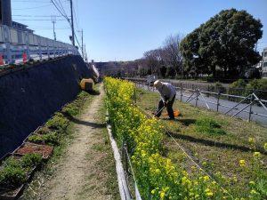 咲いたナノハナ横で草取り