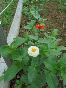 5月に種まきしたジニアも咲き出しました