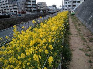 早渕川・老馬谷ガーデンに咲く菜の花