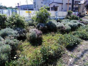 ラベンダー畑の草取りをしました