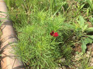 散水の効果でコスモス の花が咲きだしました