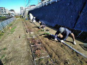 鍛冶橋側園路際花壇にノースポールを植えました