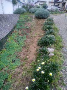 鍛冶橋口園路際斜面にムスカリを植えました