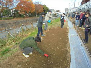 都市緑化研の1年生が球根を3-5センチ間隔でバラまきました