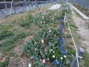100メートルの園路際にもうすぐチューリップとネモフィラが咲きます
