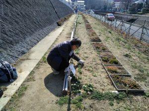 チューリップとネモフィラ花壇の整備