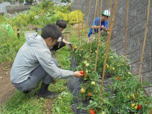 都市緑化研コミュニテイーガーデンのトマトも赤くなりました