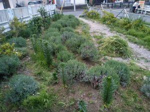 鍛冶橋入口のラベンダー畑の除草