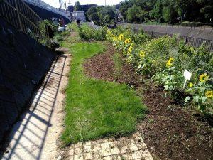 都市緑化研の植えたヒマワリが咲いています