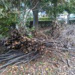 台風の後、折れた枝を集めます