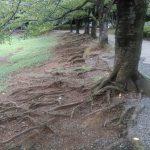 山崎公園広場で根の露出した桜