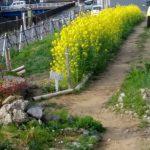 黄色の菜の花が美しい