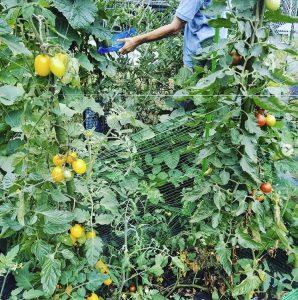 スイカ、きゅうり(育ちすぎてオバケきゅうりに)、ミニトマト、枝豆を収穫!畑は中川駅から歩いて20分ほどの高台にありますよ